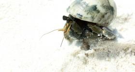 similan-crab