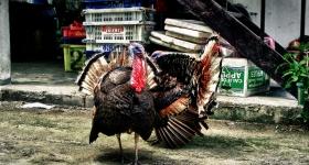 thai-turkey